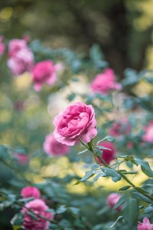 花园, 粉色, 玫瑰, 花