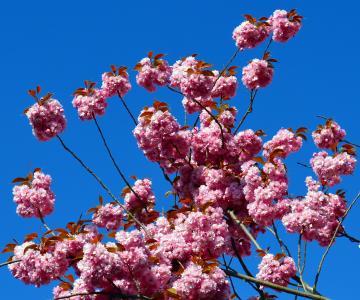 樱花, 树, 春天, 花, 开花的树, 自然, 粉色