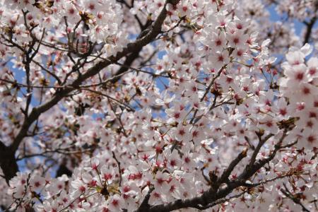樱花, 4 月, 春天, 花, 自然, 植物, 春天的花朵