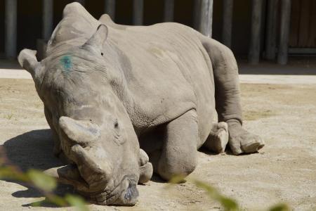 犀牛, 厚皮类动物, 在撒谎, 动物园, 动物园动物