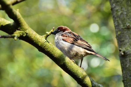 麻雀, 麻雀, 鸟, 斯珀林, 动物, 自然, 鸣禽