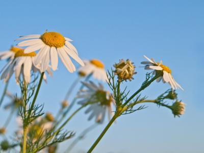 真正的洋甘菊, 自然, 药草, 三通, 洋甘菊, 野花, 植物