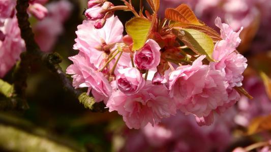 樱花, 花樱, 粉红色的花, 春分, 春天的花朵, 开花的树, 樱桃