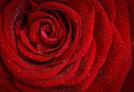 上升, 红色, 罗莎, 早上, 玫瑰花朵, 花, 玫瑰花瓣
