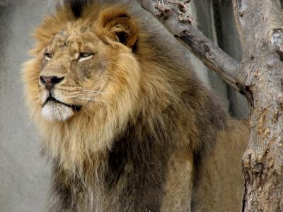 狮子, 野生动物, 男性, 动物园, 野生动物, 自然, 寻找