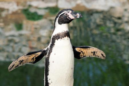 企鹅, 鸟, 动物, 动物世界, 水鸟, 水, 条例草案