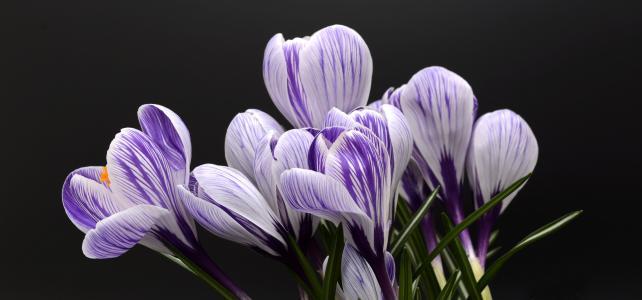 番红花, 花, 春天, 自然, 春天的花朵, 开花, 绽放