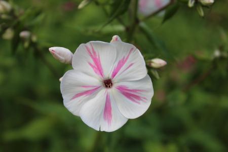 花, 开花, 绽放, 白色, 粉色, 植物, 自然