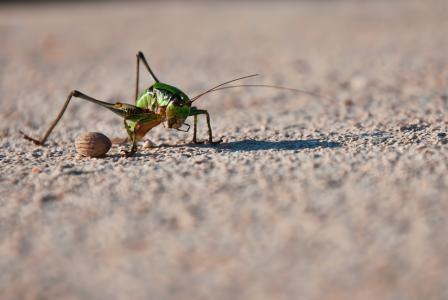 蚱蜢, 板球, 蝉, 昆虫, 详细, 花园, 自然