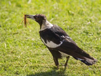 喜鹊, 澳大利亚喜鹊, 饿了, 抓到, 猎物, 昆虫, 喙
