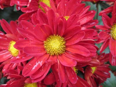 菊花, 植物, 公园, 红色