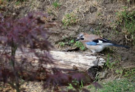 杰伊 ·, 鸟, 觅食, 羽毛, 羽毛, 自然, 动物世界