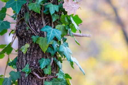 常春藤, 日志, 秋天, 树皮, 登山者, 爬虫, 树