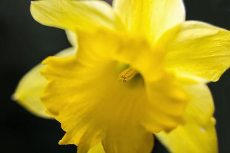 水仙花, 水仙, 复活节, 邮票, 花粉, 蜂花粉, 花萼