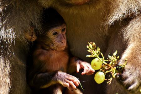 小猴, 巴巴利猿, 濒危的物种, 吃, 猴子山塞勒姆, 动物, 野生动物