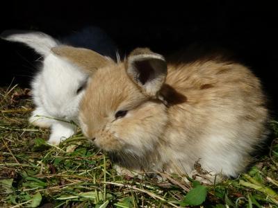 兔子, 小兔子, 兔, 小兔子, ušáček, usace, 白色