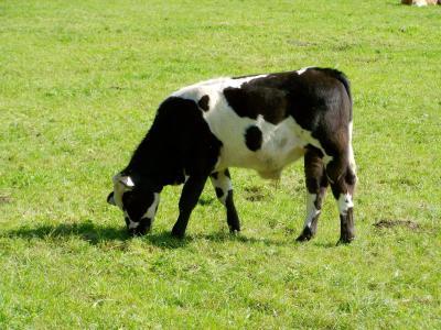 black-and-白色小牛肉, 牛, 绿色牧场, livestoke, 母牛, tejeltehén, 草甸