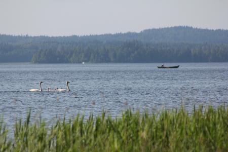 天鹅, 小船, 船夫, 和平, 沉默, 湖, 芦苇