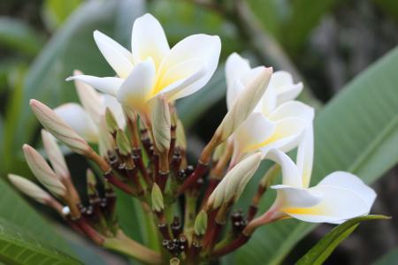 鸡蛋花, 鸡蛋花, 花, 植物, 白色, 黄色, 自然