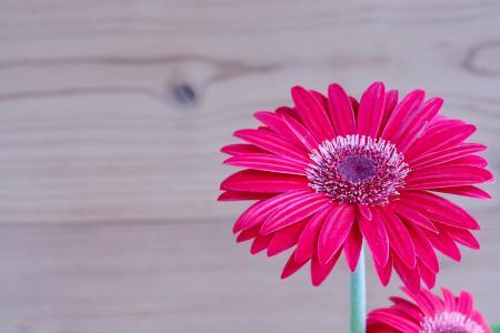 非洲菊, 花, 开花, 绽放, 花瓣, 红色, 关闭