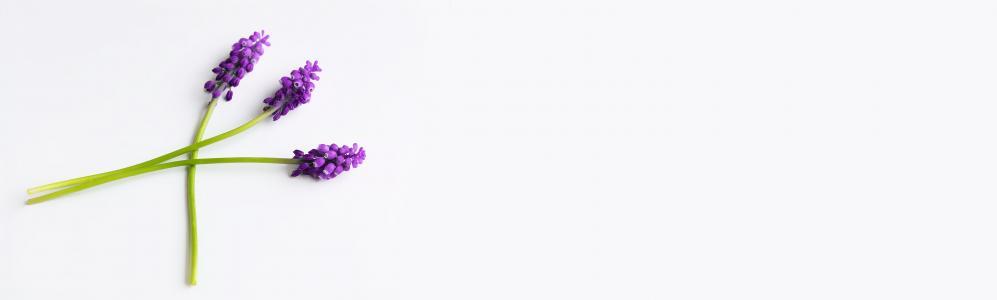 葡萄风信子, 紫色, 花, 蓝色的花朵, 风信子, 春天的花朵, 尖尖的花