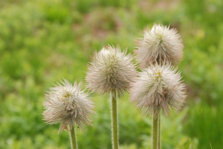 花, 植物, 植物区系, 皮棉, 软, 自然, 绿色