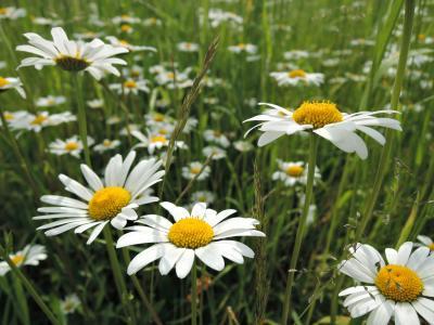 草甸, 花, 草地上的花朵, 花, 黛西, 关键字 fotomontáž, 草