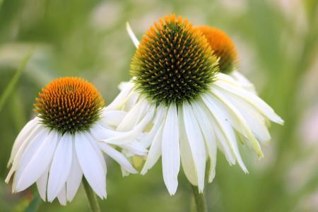太阳帽子, 开花, 绽放, 白色, 花园, 花, 植物