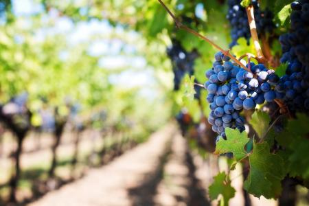 紫葡萄, 葡萄园, 纳帕谷, 纳帕葡萄园, 葡萄, 葡萄树, 葡萄