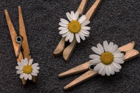 种子, 罂粟籽, 衣夹, 花, 自然, 特写