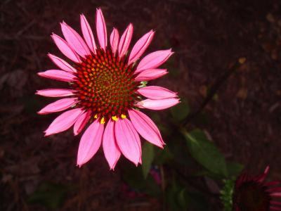 紫锥菊, 花香, 植物, 自然, 开花, 绽放, 花瓣