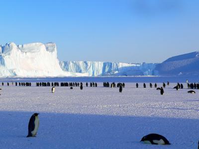 企鹅, 皇帝, 南极, 生活, 动物, 可爱, 冰