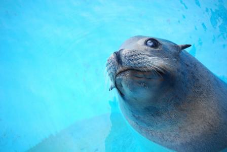 动物, 密封, 水, 自然, 哺乳动物, 野生动物, 海洋