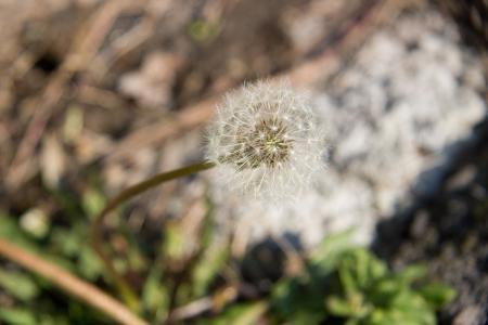 蒲公英, 春天, 宏观, 自然, 植物, 绿党, 长大