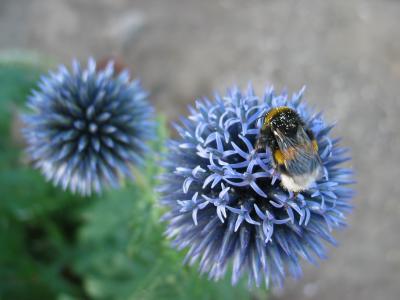 blaudistel, 胡梅尔, 花, 灌木, 夏季, 昆虫, 自然
