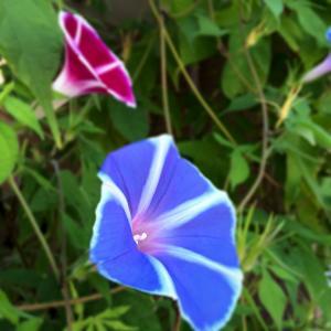 花, 牵牛花