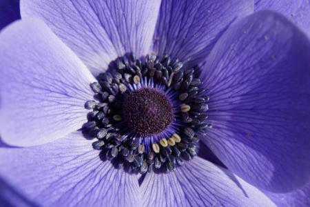 皇冠海葵, 银莲花, 宏观, 关闭, 花, 开花, 绽放