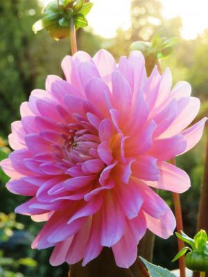 大丽花, 粉色, 开花, 绽放, 花卉园, 夏季