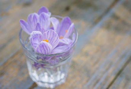 番红花, 花, 丁香, 紫色, 紫罗兰色, 自然, 春天