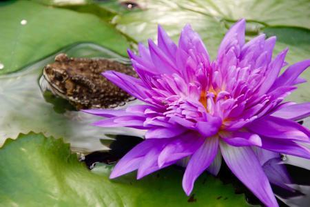 水百合, 紫色, 开花, 开花, 绽放, 池塘, 水生植物