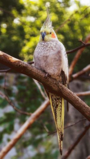 长尾小鹦鹉, 鸟, 颜色, 鸟类, 罗莉, 多彩, 鹦鹉