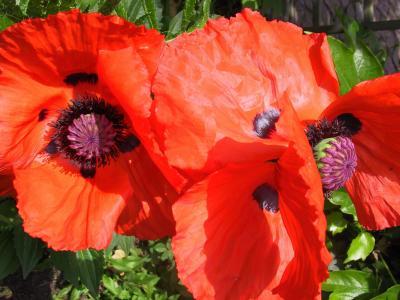 罂粟, 开花, 绽放, 春天, 橙色, 多彩