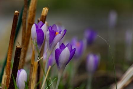 番红花, 春天, 紫色, 花, 自然, 紫罗兰色, 早就崭露头角