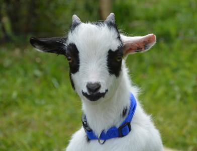 山羊, 小矮人, 黑色, 白色, 黑色白色, 字段, 动物