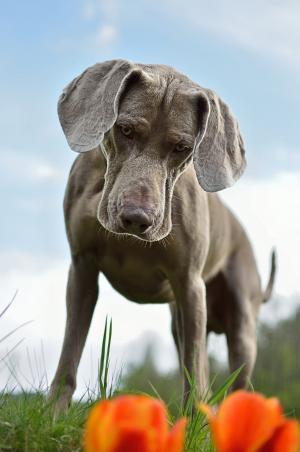 狗, 威马, 常设的狗, 一种动物, 动物, 家养动物, 动物主题