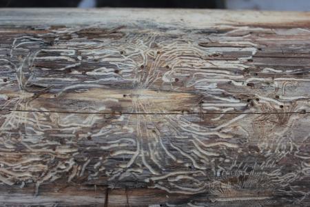 木纹, 蠕虫, 模式, 纹理, 昆虫, 木材-材料, 背景