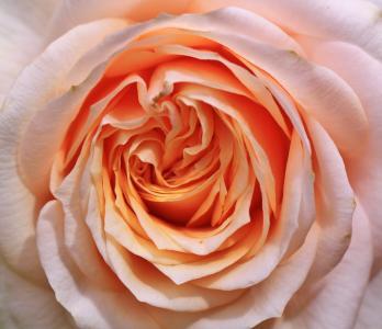 上升, 玫瑰, 玫瑰绽放, 开花, 绽放, 花, 植物