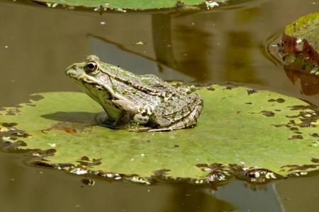 自然, 睡莲, 青蛙