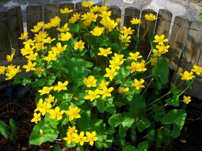 沼泽万寿菊, 黄色的花, 春天, 花, 自然, 黄色, 植物