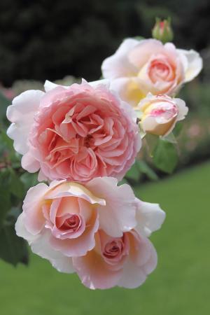 玫瑰, 花朵, 园林植物, 粉色, 粉红色的玫瑰, 花, 花卉园